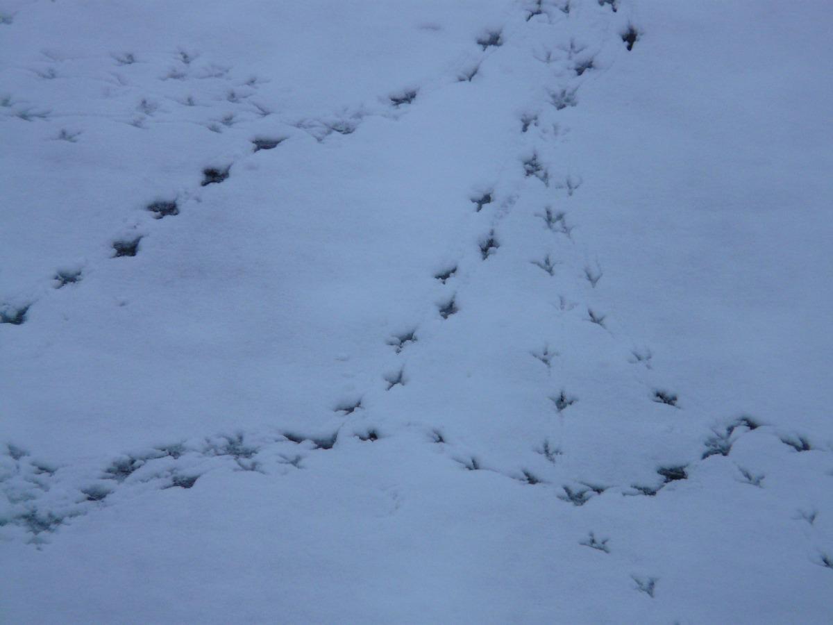 Bird tracks through the snow
